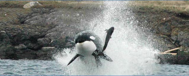 Resident and Transient Orcas | Port Townsend Marine