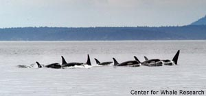 orca pod traveling