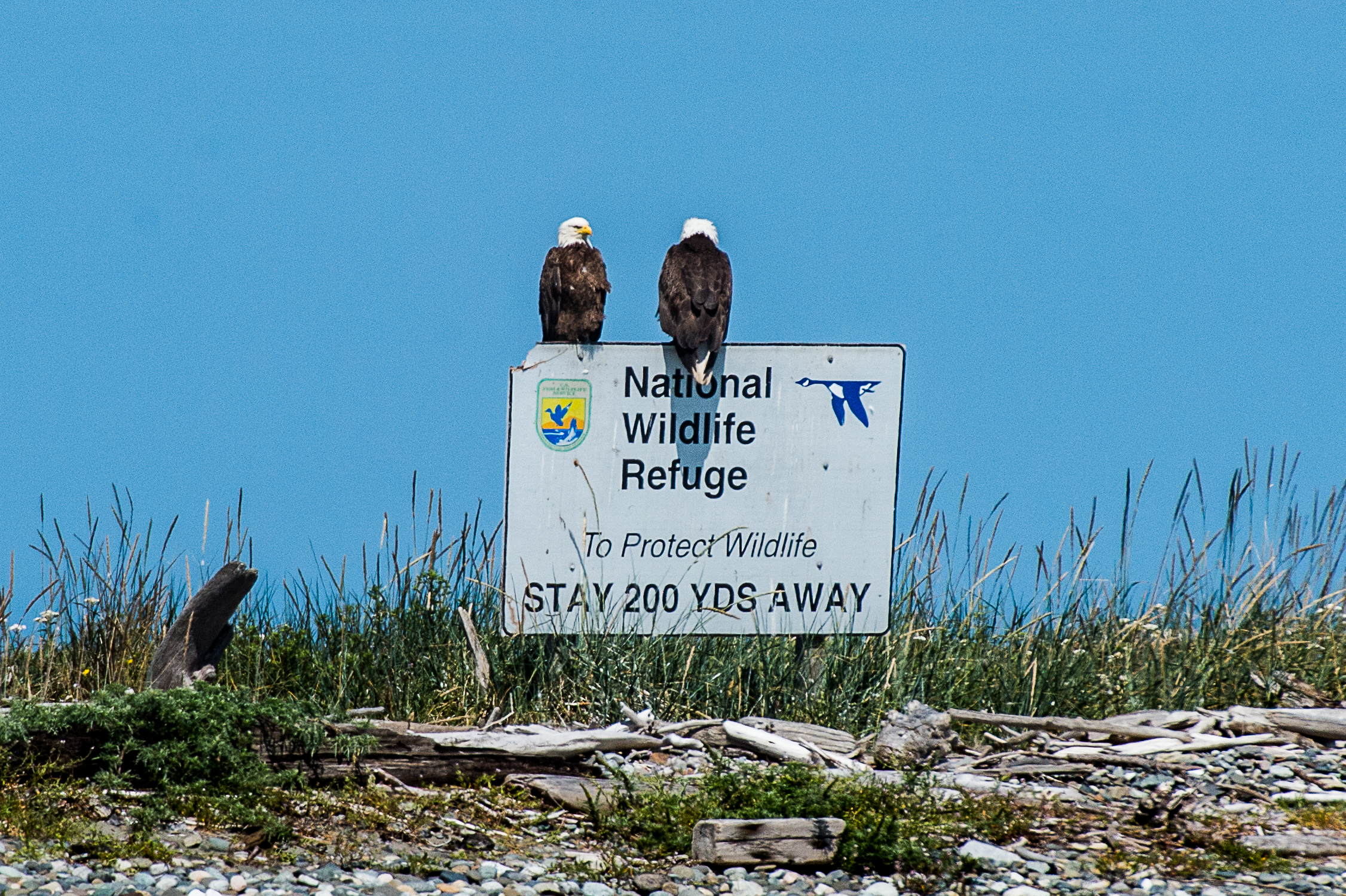 Bald Eagles on sign 20